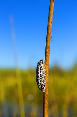 Painted Reed Frog (Hyperolius marmoratus), Okavango Delta, Botswana  -  Juan-Carlos Munoz/ Biosphoto
