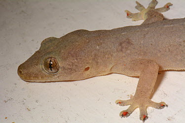 Oceanic Gecko (Gehyra oceanica), Tahiti, French Polynesia  -  David Massemin/ Biosphoto