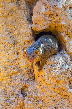 Dwarf Mongoose (Helogale parvula), Bioparc Valencia, Spain  -  Juan-Carlos Munoz/ Biosphoto