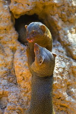 Dwarf Mongoose (Helogale parvula) pair play-fighting, Bioparc Valencia, Spain  -  Juan-Carlos Munoz/ Biosphoto