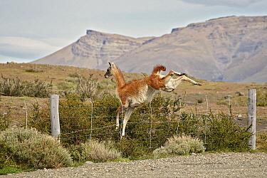 Guanaco (Lama guanicoe) jumping over fence, Patagonia, Chile  -  Ignacio Yufera/ Biosphoto