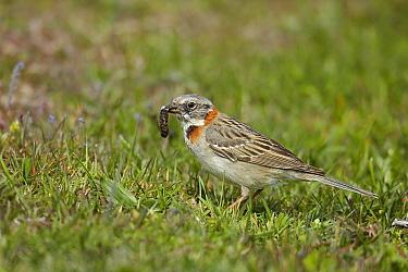 Rufous-collared Sparrow (Zonotrichia capensis) with insect prey, Torres Del Paine National Park, Chile  -  Ignacio Yufera/ Biosphoto