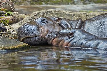 Pygmy Hippopotamus (Hexaprotodon liberiensis) parent and young, Singapore Zoo, Singapore  -  Ignacio Yufera/ Biosphoto