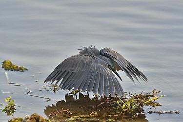 Black Heron (Egretta ardesiaca) shadow fishing, Botswana  -  Michel Bureau/ Biosphoto