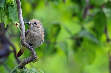 Black Redstart (Phoenicurus ochruros) on Hazelnut (Corylus avellana), Bugey, France  -  Patrick Sabonnadiere/ Biosphoto