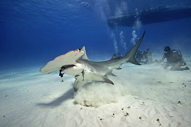 Great Hammerhead Shark (Sphyrna mokarran) and divers, Bahamas, Caribbean  -  Gerard Soury/ Biosphoto