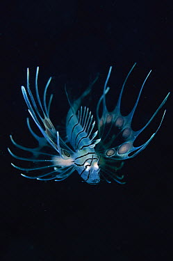 Lionfish (Pterois sp) juvenile, Pantar, Indonesia  -  Mike Veitch/ Biosphoto