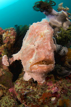 Commerson's Frogfish (Antennarius commersonii), Komodo Island, Indonesia  -  Mike Veitch/ Biosphoto