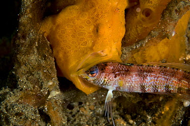 Painted Frogfish (Antennarius pictus) feeding on Sand Diver (Parapercis sp), Lembeh Strait, Indonesia  -  Mike Veitch/ Biosphoto