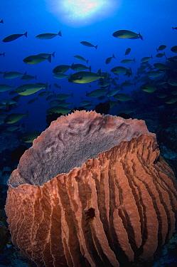 Blacktongue Unicornfish (Naso hexacanthus) school and Giant Barrel Sponge (Xestospongia sp), Raja Ampat Islands, Indonesia  -  Mike Veitch/ Biosphoto