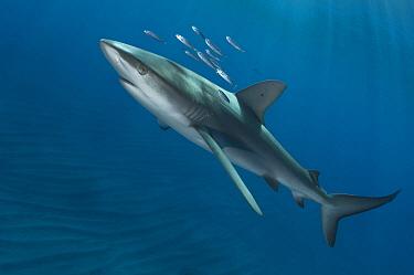 Galapagos Shark (Carcharhinus galapagensis) juvenile, Raoul Island, New Zealand  -  Tobias Bernhard Raff/ Biosphoto