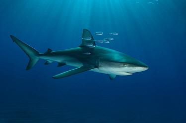 Galapagos Shark (Carcharhinus galapagensis), Raoul Island, New Zealand  -  Tobias Bernhard Raff/ Biosphoto