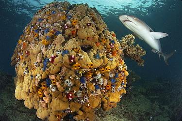 White-tip Reef Shark (Triaenodon obesus) swimming over Stony Coral (Acropora sp) with Christmas Tree Worms (Spirobranchus giganteus), Fiji  -  Tobias Bernhard Raff/ Biosphoto