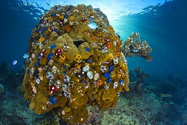 Christmas Tree Worm (Spirobranchus giganteus) group covering Stony Coral (Acropora sp), Fiji  -  Tobias Bernhard Raff/ Biosphoto