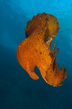 Spotted Seahare (Aplysia dactylomela), Poor Knights Islands, New Zealand  -  Tobias Bernhard Raff/ Biosphoto