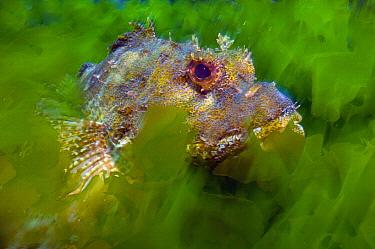 Scorpionfish (Scorpaena sp) in Sea Lettuce (Ulva sp), New Zealand  -  Tobias Bernhard Raff/ Biosphoto