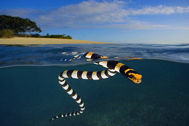 Banded Sea Krait (Laticauda colubrina) on surface, New Caledonia  -  Tobias Bernhard Raff/ Biosphoto