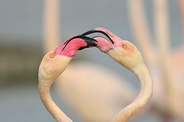 European Flamingo (Phoenicopterus roseus) pair courting, Camargue, France  -  Claude Balcaen/ Biosphoto