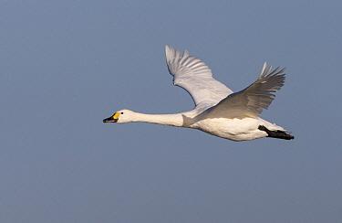 Bewick's Swan (Cygnus columbianus bewickii) flying in winter, United Kingdom  -  Frederic Desmette/ Biosphoto