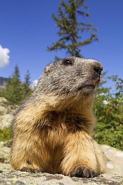 Alpine Marmot (Marmota marmota), Ecrins National Park, Alps, France  -  Jean-Jacques Alcalay/ Biosphoto