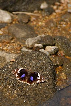 Dark Blue Pansy Butterfly (Junonia oenone) female, Kruger National Park, South Africa  -  Brigitte Marcon/ Biosphoto