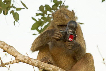 Chacma Baboon (Papio ursinus) playing with mirror, Kruger National Park, South Africa  -  Jean-Jacques Alcalay/ Biosphoto