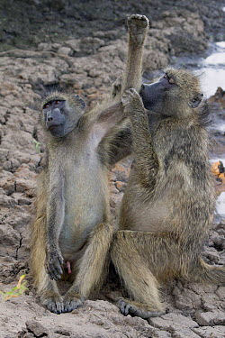 Chacma Baboon (Papio ursinus) pair grooming, Kruger National Park, South Africa  -  Jean-Jacques Alcalay/ Biosphoto