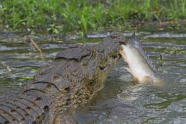 Nile Crocodile (Crocodylus niloticus) with fish prey, Kruger National Park, South Africa  -  Jean-Jacques Alcalay/ Biosphoto