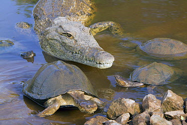 Nile Crocodile (Crocodylus niloticus) and East African Serrated Mud Turtle (Pelusios sinuatus) pair, Kruger National Park, South Africa  -  Jean-Jacques Alcalay/ Biosphoto