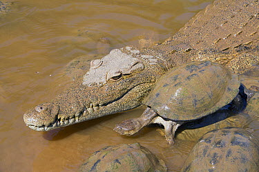 Nile Crocodile (Crocodylus niloticus) and East African Serrated Mud Turtle (Pelusios sinuatus), Kruger National Park, South Africa  -  Jean-Jacques Alcalay/ Biosphoto