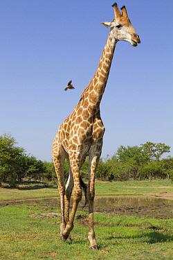 South African Giraffe (Giraffa giraffa giraffa), Kruger National Park, South Africa  -  Jean-Jacques Alcalay/ Biosphoto