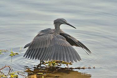 Black Heron (Egretta ardesiaca) shadow fishing, Botswana,sequence 2 of 2  -  Michel Bureau/ Biosphoto