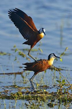 African Jacana (Actophilornis africanus) pair mating, Botswana  -  Michel Bureau/ Biosphoto