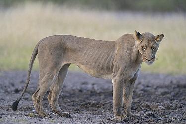 African Lion (Panthera leo) malnourished female with ribs showing, Kalahari Desert, Botswana  -  Michel Bureau/ Biosphoto