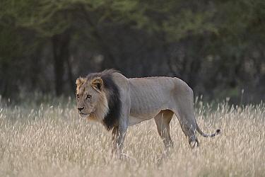 African Lion (Panthera leo) malnourished male with ribs showing, Kalahari Desert, Botswana  -  Michel Bureau/ Biosphoto