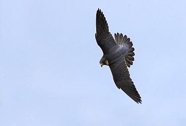 Peregrine Falcon (Falco peregrinus) flying, United Kingdom  -  Frederic Desmette/ Biosphoto