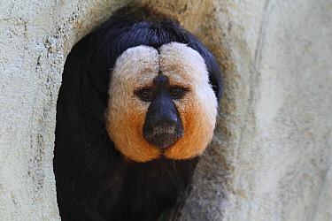 White-faced Saki (Pithecia pithecia), native to South America  -  Jean-Francois Noblet/ Biosphoto