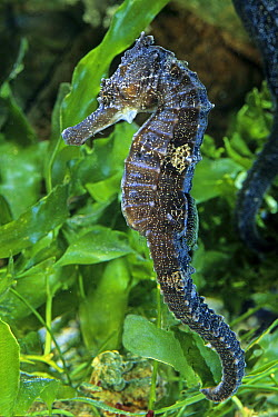 Spotted Seahorse (Hippocampus erectus), native to North Atlantic  -  Yvette Tavernier/ Biosphoto
