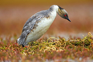 Silvery Grebe (Podiceps occipitalis) at nest, Torres Del Paine National Park, Chile  -  Sylvain Cordier/ Biosphoto