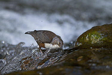 White-throated Dipper (Cinclus cinclus) foraging in river, Vaud, Switzerland  -  Olivier Born/ Biosphoto
