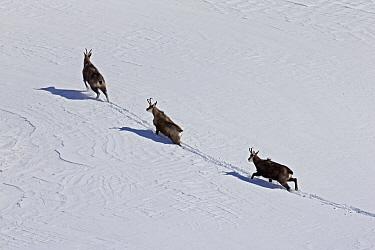 Chamois (Rupicapra rupicapra) trio in snow, Alps, Vaud, Switzerland  -  Olivier Born/ Biosphoto