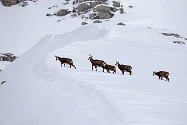 Chamois (Rupicapra rupicapra) herd in snow, Alps, Vaud, Switzerland  -  Olivier Born/ Biosphoto