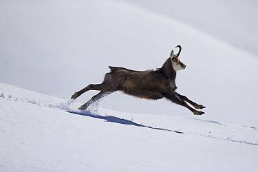 Chamois (Rupicapra rupicapra) running in snow, Alps, Vaud, Switzerland  -  Olivier Born/ Biosphoto