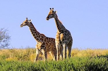 South African Giraffe (Giraffa giraffa giraffa) pair, Kgalagadi Transfrontier Park, South Africa  -  Tina Malfilatre/ Biosphoto