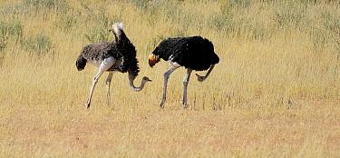 Ostrich (Struthio camelus) pair courting, Kgalagadi Transfrontier Park, South Africa  -  Tina Malfilatre/ Biosphoto