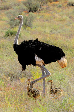 Ostrich (Struthio camelus) male and chicks, Kgalagadi Transfrontier Park, South Africa  -  Tina Malfilatre/ Biosphoto