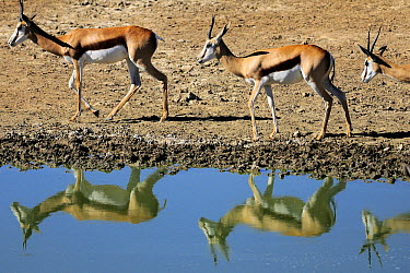Springbok (Antidorcas marsupialis) group at waterhole, Kgalagadi Transfrontier Park, South Africa  -  Tina Malfilatre/ Biosphoto