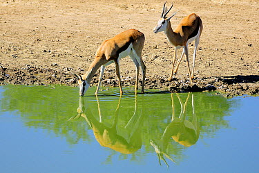 Springbok (Antidorcas marsupialis) pair at waterhole, Kgalagadi Transfrontier Park, South Africa  -  Tina Malfilatre/ Biosphoto