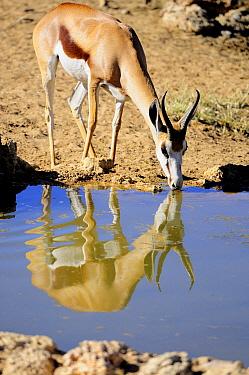 Springbok (Antidorcas marsupialis) drinking at waterhole, Kgalagadi Transfrontier Park, South Africa  -  Tina Malfilatre/ Biosphoto