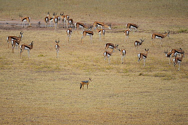Black-backed Jackal (Canis mesomelas) and Springbok (Antidorcas marsupialis) herd, Kgalagadi Transfrontier Park, South Africa  -  Tina Malfilatre/ Biosphoto
